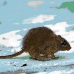 Rat, totemdier van de 16de Gene Key