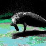 Zeekoe is totemdier van de 63ste Gene Key