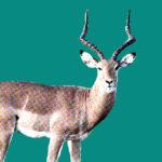 Antilope Totemdier van de 58ste Gene Key